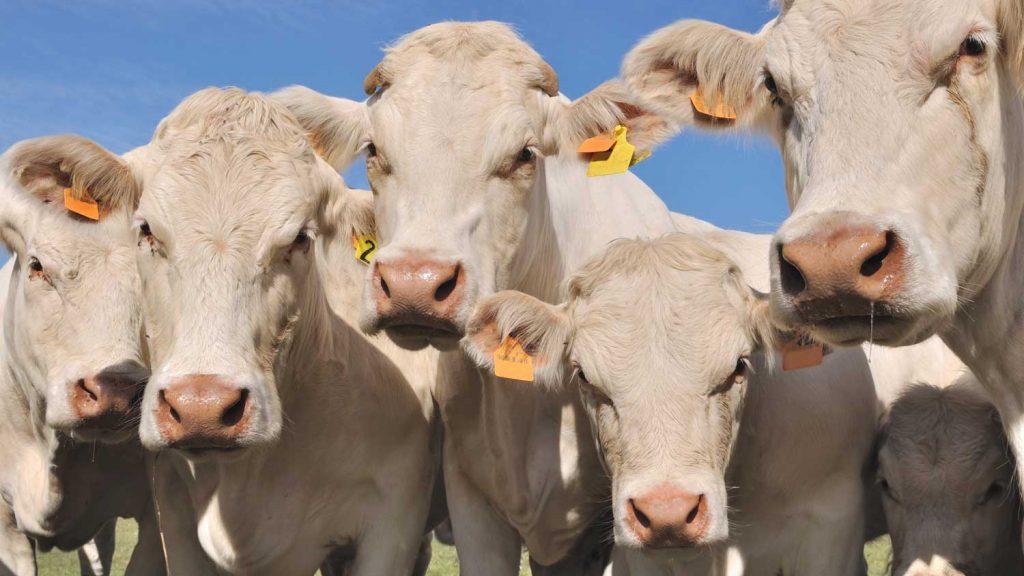 Welches Rind hättest du gerne? Fünf besondere Fleischrinderrassen.